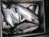 fishing-port-renfrew-british-columbia-canada-viciousfishcharter-004