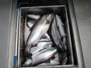 fishing port renfrew british columbia Canada  viciousfishcharter 004